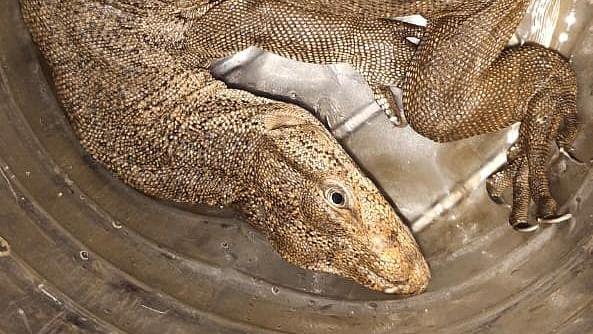 Mumbai: 2.5 feet monitor lizard rescued from Kajupada