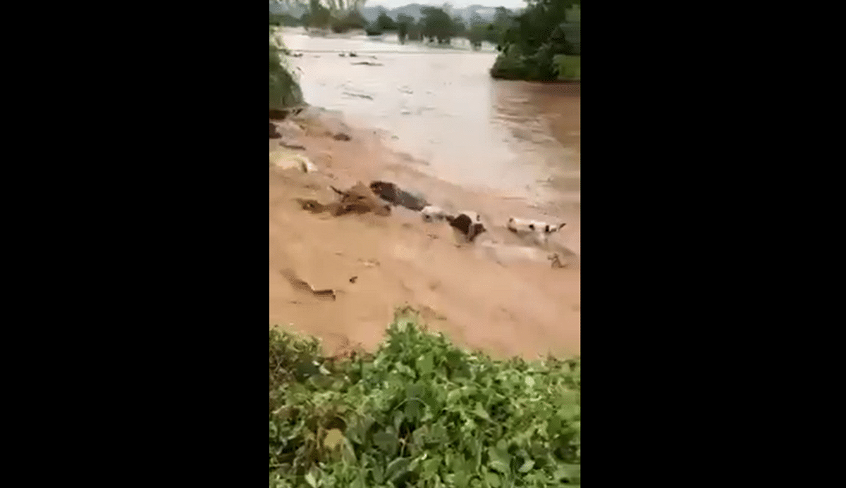 Watch: Heartwrenching video of cows being swept away as rains lash Madhya Pradesh's Sonkatch