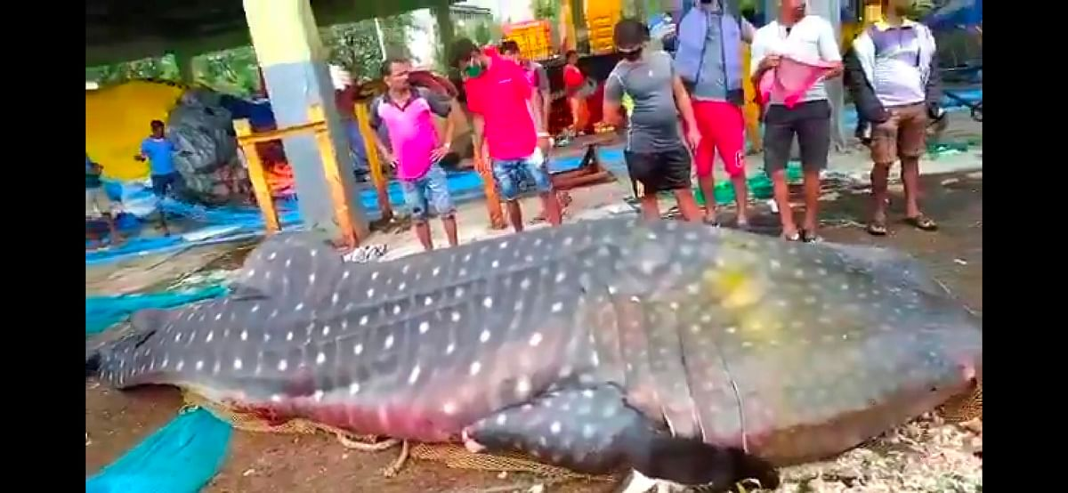 Protected species of whale shark found at Sassoon Dock, probe ordered