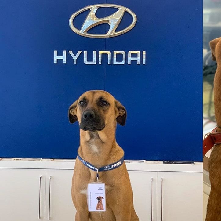 Company Loyalty Redefined: Hyundai showroom adopts street dog, makes him full-time employee