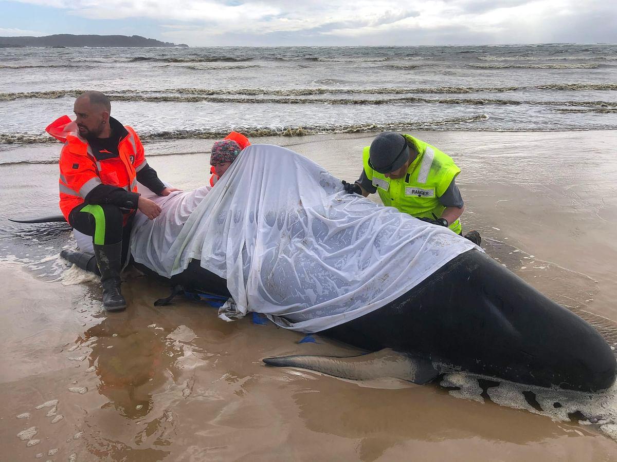 Australia begins disposal of dead pilot whales