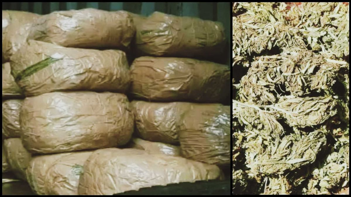 Mumbai Police seizes 345 kg marijuana, arrests one accused