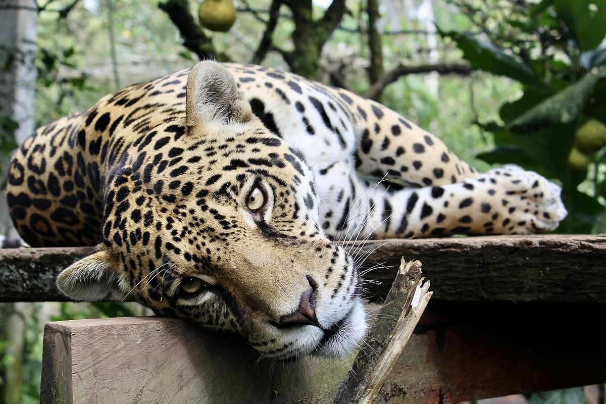 Flames wreak destruction at  Brazil Jaguar reserve