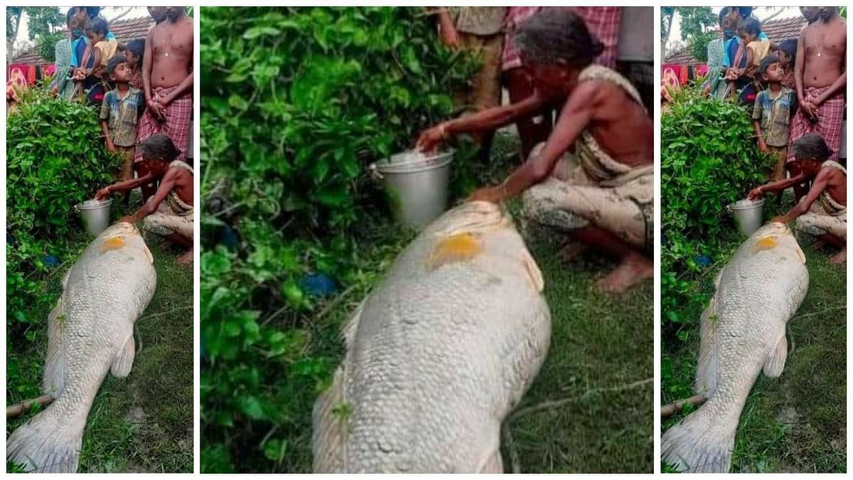 Too Mach: 52kg fish sells for Rs 3 lakh in Sundarbans
