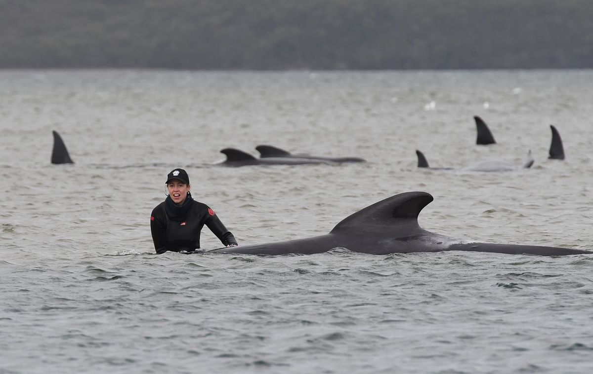 Australian rescuers race to save stranded whales; 90 dead