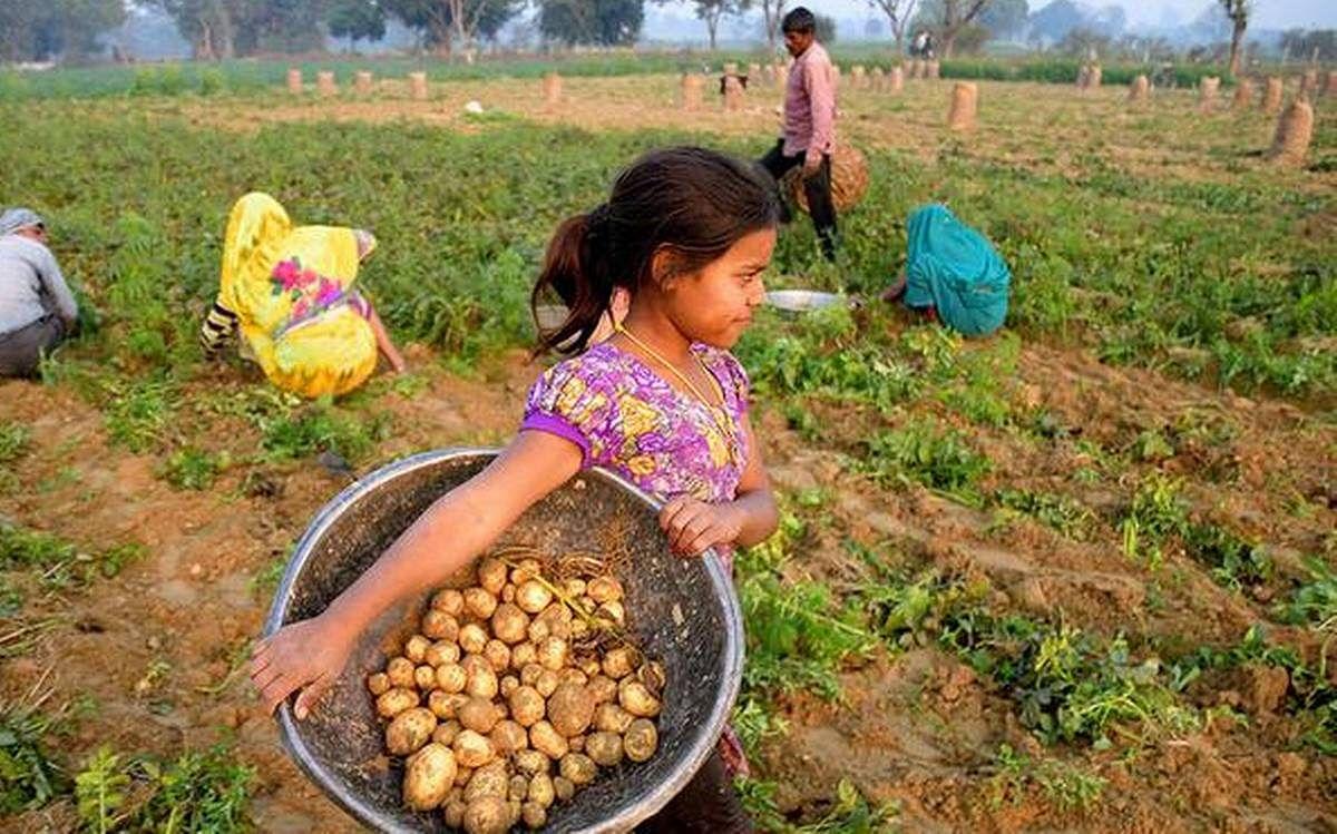 It's raining trouble for potato growers in Maharashtra
