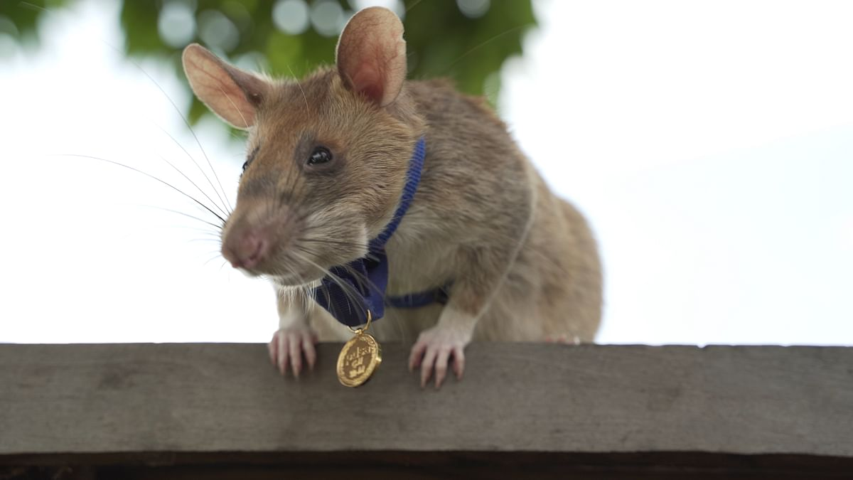 'Brave rat' wins medal for hunting landmines