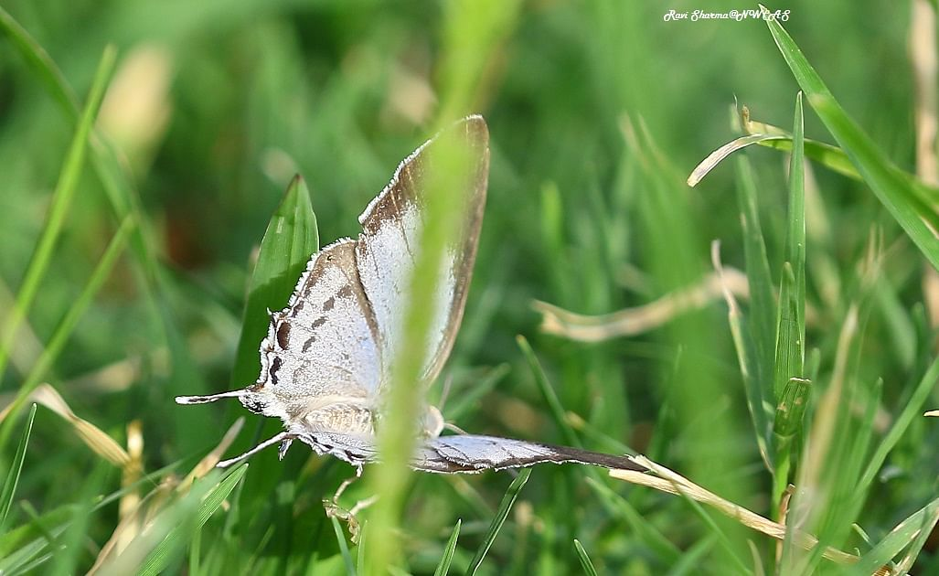 Monsoon butterfly survey brings positive surprise, 10 new species spotted in Indore