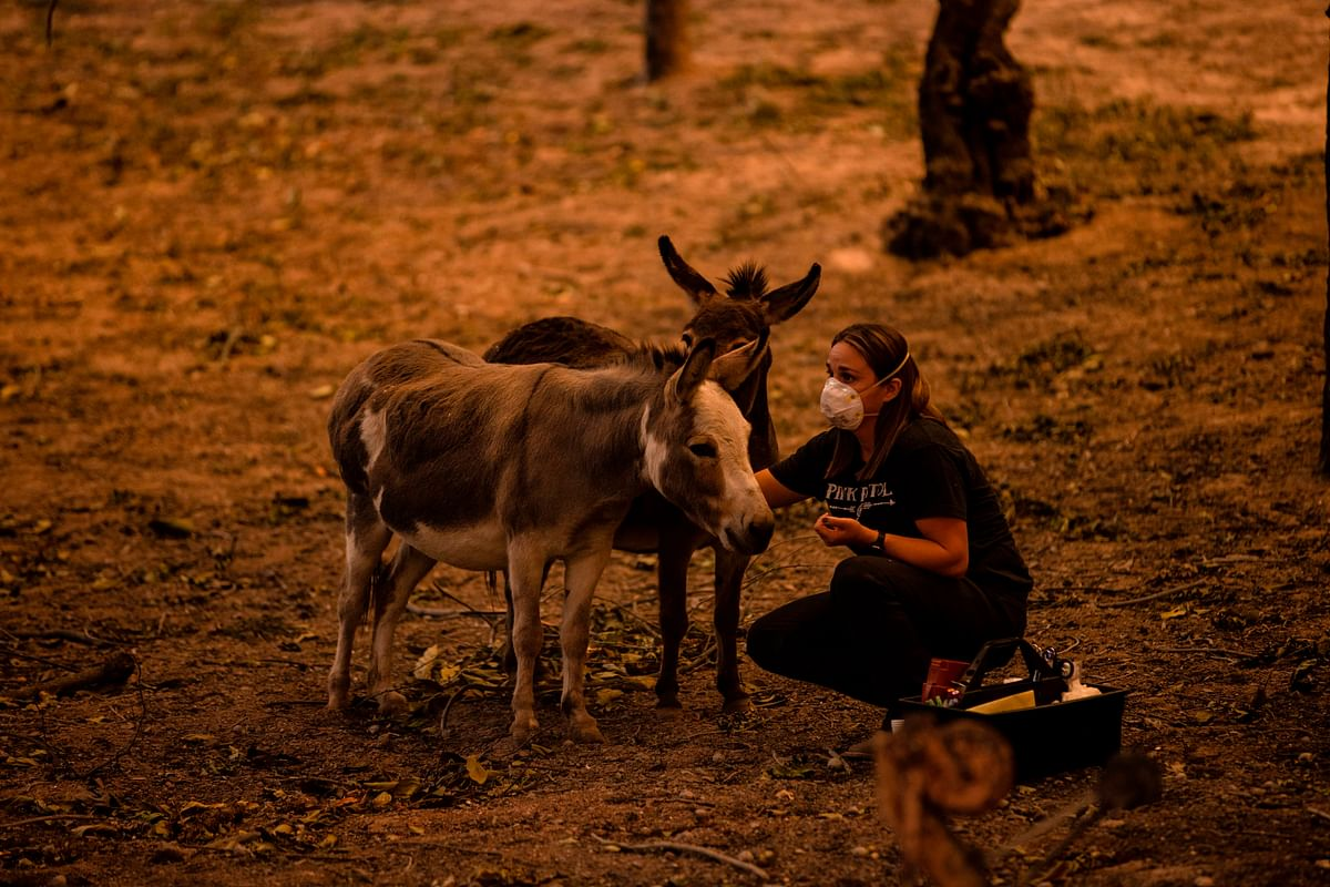 A volunteer takes care of two miniature donkeys found alive after the Glass Fire passed through Napa Valley, California