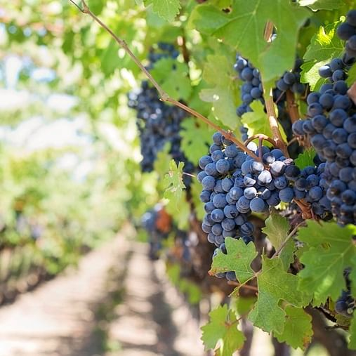 Maha govt launches first grape park in Nashik, plans to place state on global tourism map