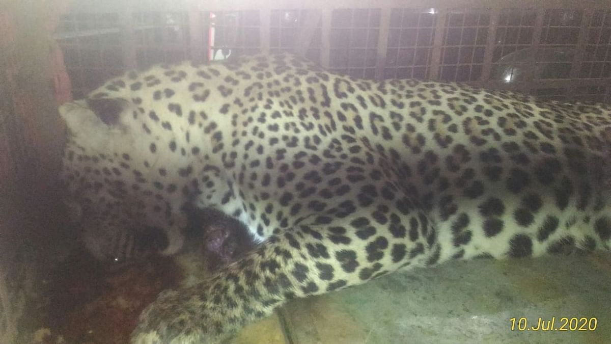 Madhya Pradesh: Leopard who was rescued from Nayapura village was shot, reveales CT scan