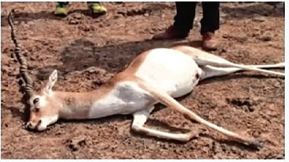 Recent floods killed 28 blackbucks in Bhavnagar: Forest dept
