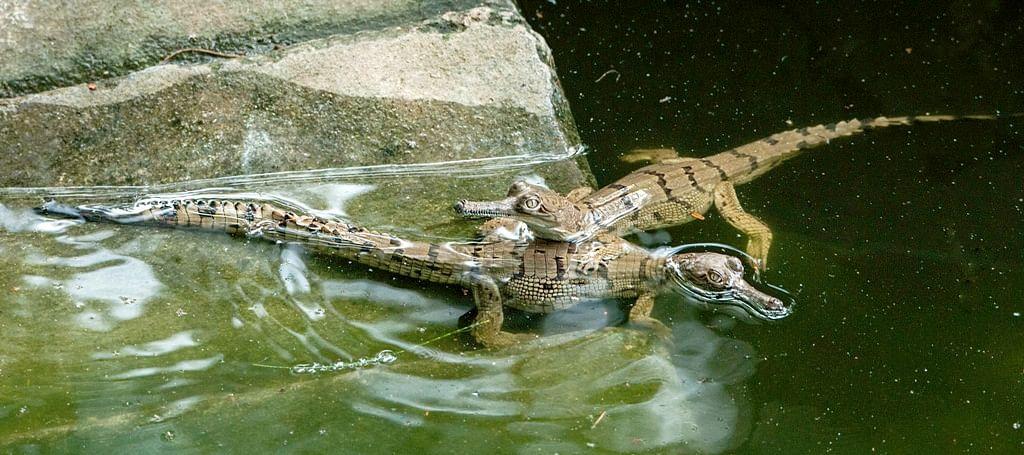 Mugger Crocodile