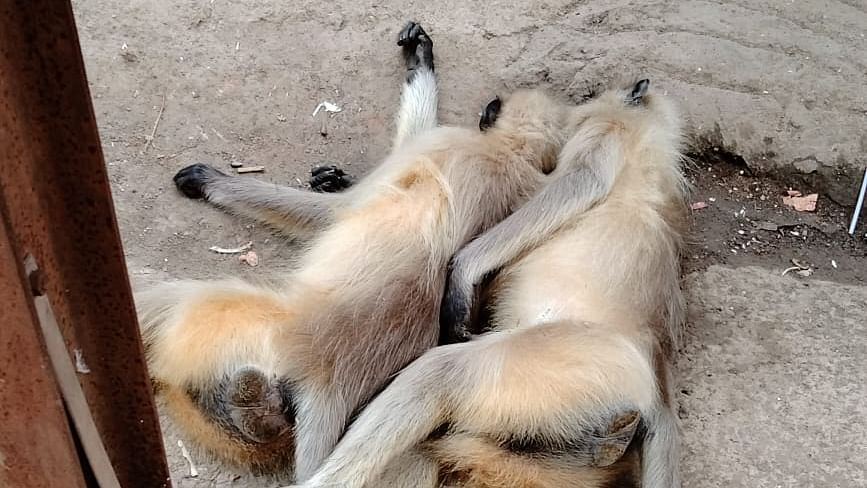 Thane: Two monkeys die of electrocution after climbing an electrical pole