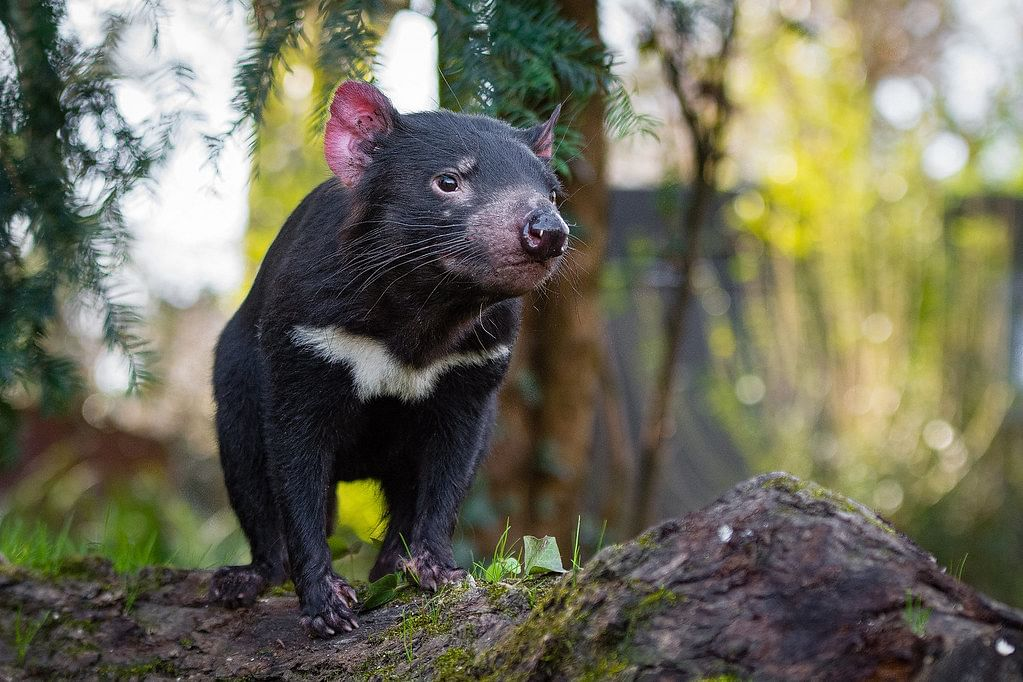 First time in 3,000 years: Tasmanian devils return to Australia