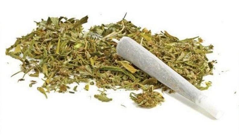 Madhya Pradesh: In its highest ever seizure, DRI Indore seizes over 1,730 kg of cannabis