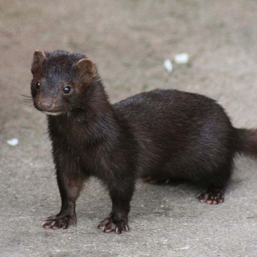 Culled over COVID-19 fears, 'zombie' mink rise from mass graves in Denmark