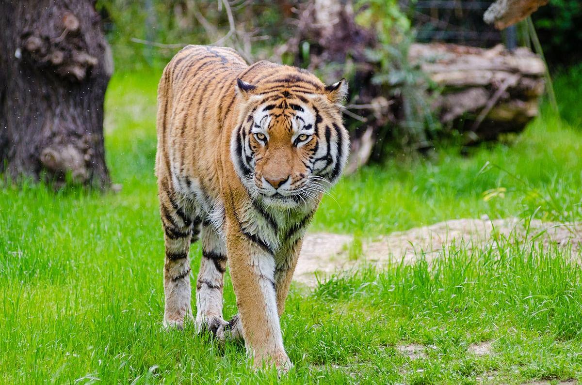 Maharashtra: Tiger run over by train in Gondia