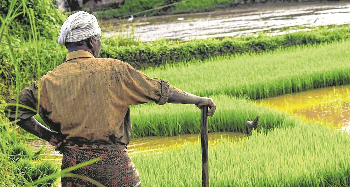Maharashtra govt to provide Rs 700 per quintal to paddy growers