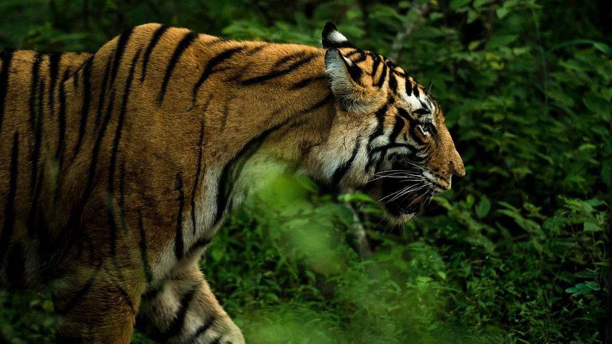 Madhya Pradesh loses 26 tigers in 2020; govt says birth rate more than deaths