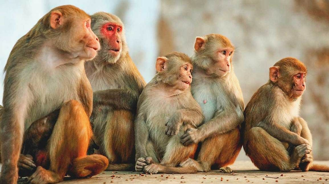 Over 30 monkeys poisoned to death, stuffed in gunny bags in Telangana