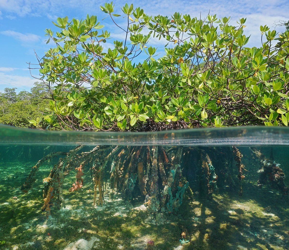 It's a matter of mangroves' survival