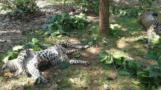 Leopard died of electrocution/ File Pic
