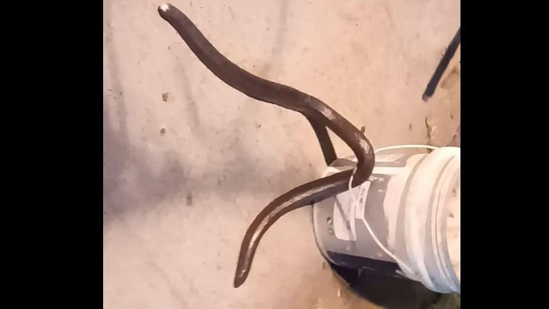 Indore: Rare Boa snake caught on Free Press campus