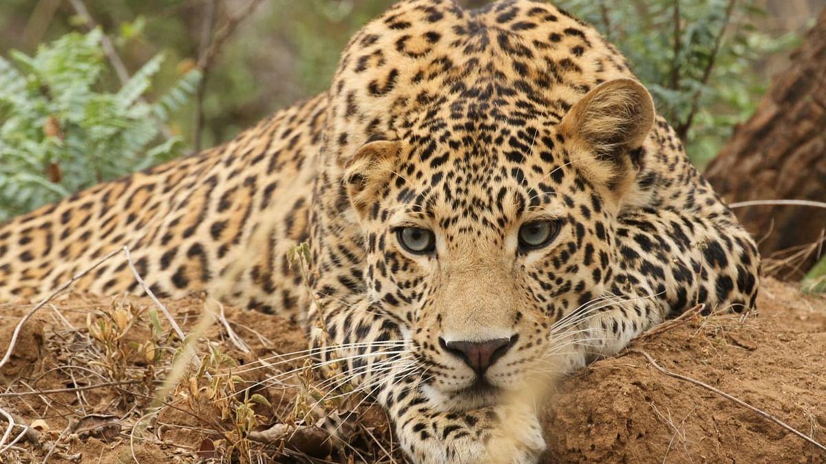 leopard/ Representational Image
