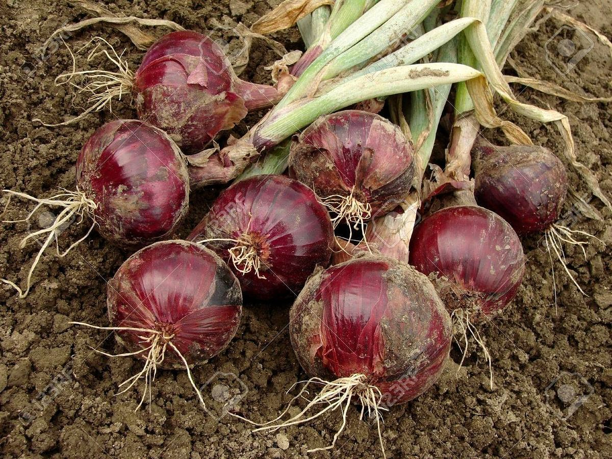 Social media gaffe leads to onion 'theft' by Rajasthan farmers