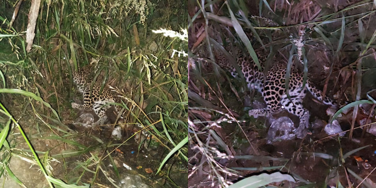 Mira Bhayandar: Pregnant leopard knocked dead on highway in Kashimira