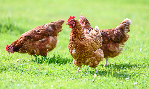 Section 144 imposed in Rajasthan town after avian flu outbreak