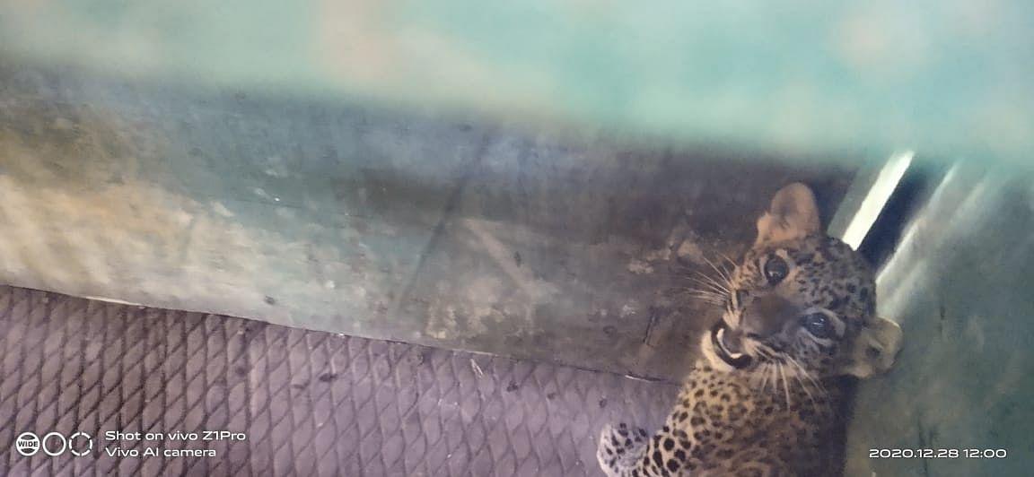 Jabalpur: Leopard cub dies after hit by vehicle, tyre marks found around body