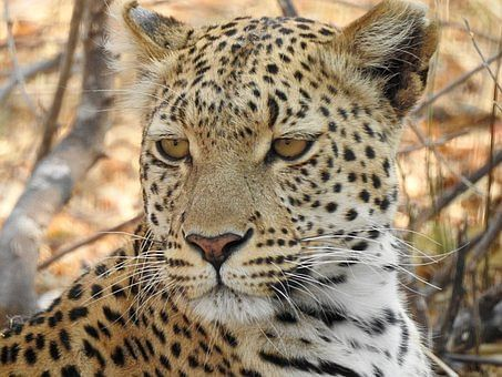 Leopardess found dead in Madhya Pradesh's Pench Tiger Reserve,  electrocution suspected