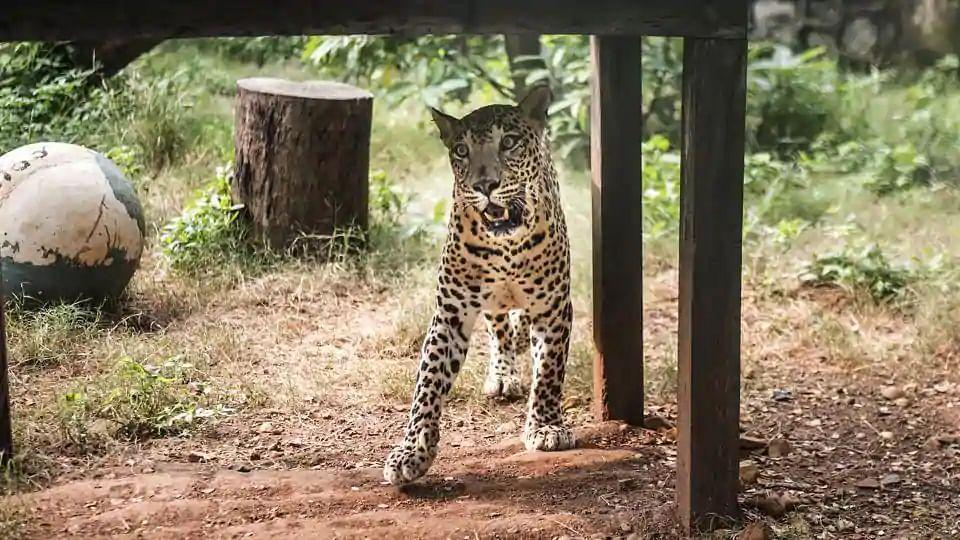 Madhya Pradesh: Leopard kills 5-year-old girl in Sehore district