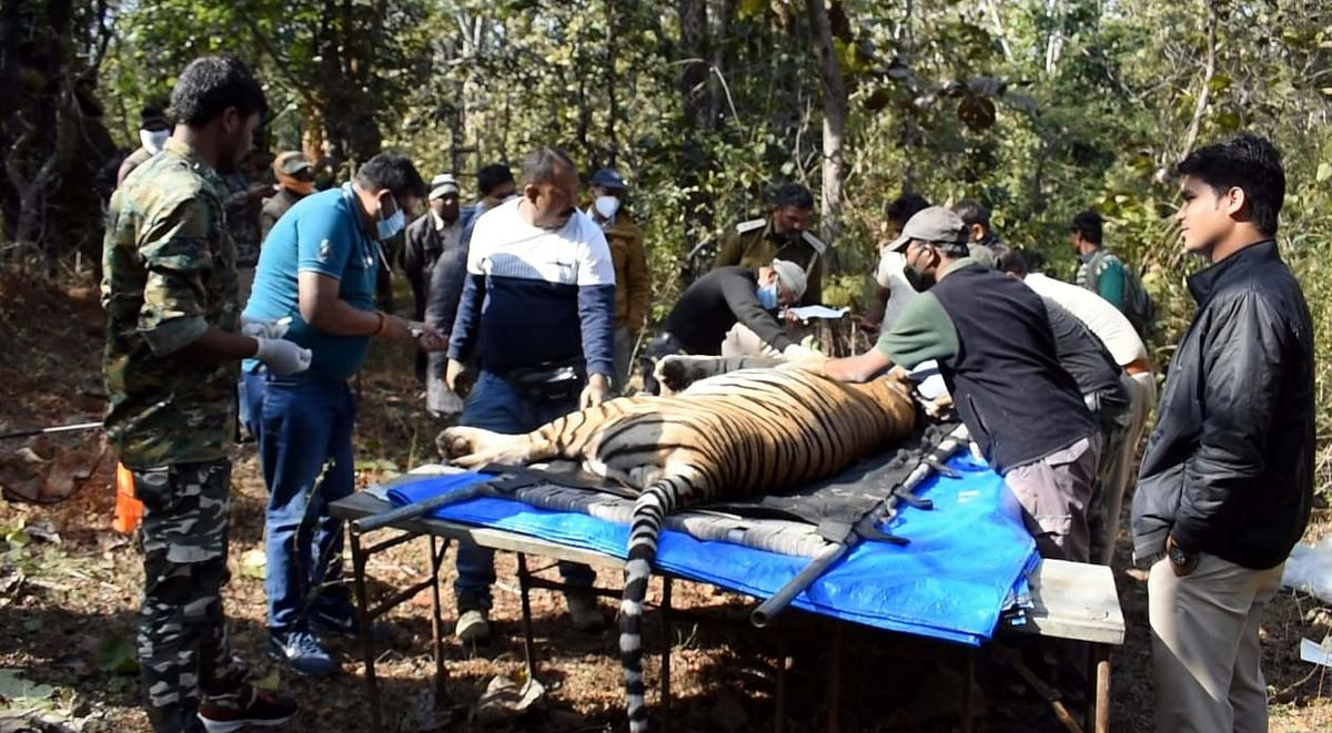 Tiger T3 being tranquilized in Panna Tiger Reserve