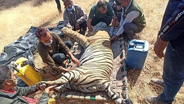 Tiger in Ranthambore National Park caught on camera with wire noose around its neck