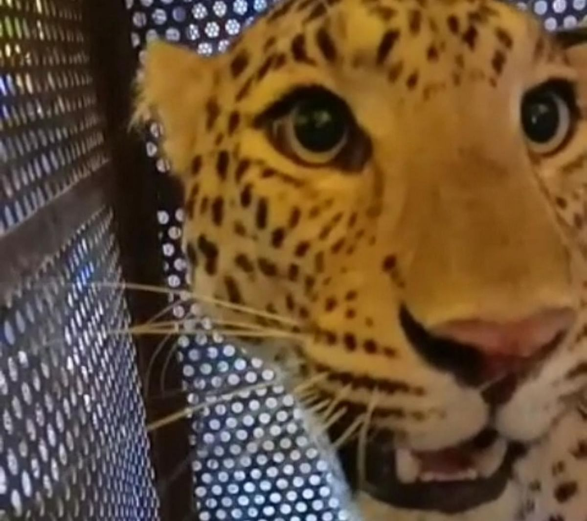 Leopardess terrorising villagers  in Ranbhanwar area, near Indore, trapped