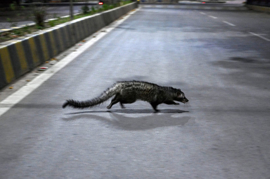 From civet in Kerala to nilgai in Noida, animals run wild during COVID-19 lockdown in 2020; see pics and videos