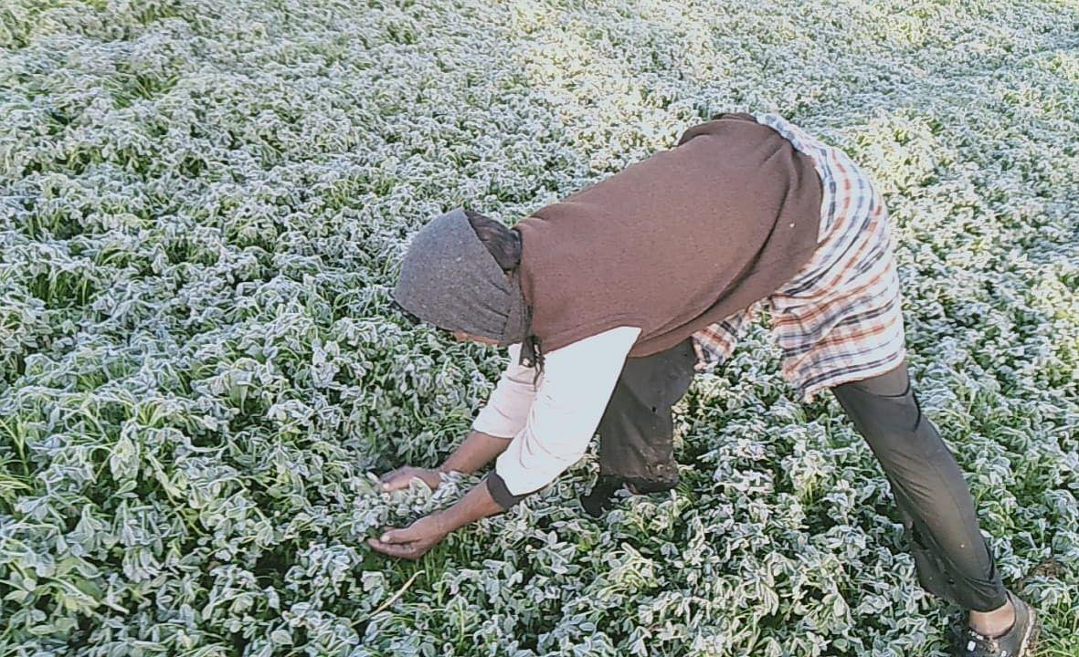Madhya Pradesh: Crops loss in Mandsaur due to frost, officials begin a survey
