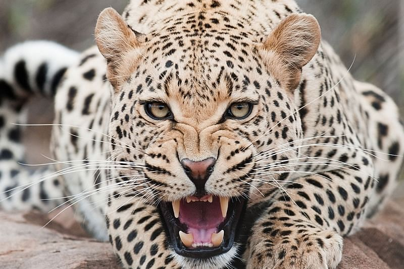 Kinhi village on alert due to the presence of leopard