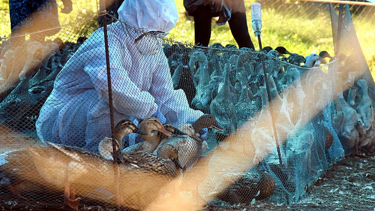 Avian influenza: 65 poultry birds found dead in Maharashtra's Jalgaon