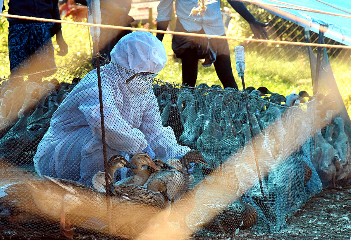 Bird flu: Panic grips several states, alert issued - What we know so far