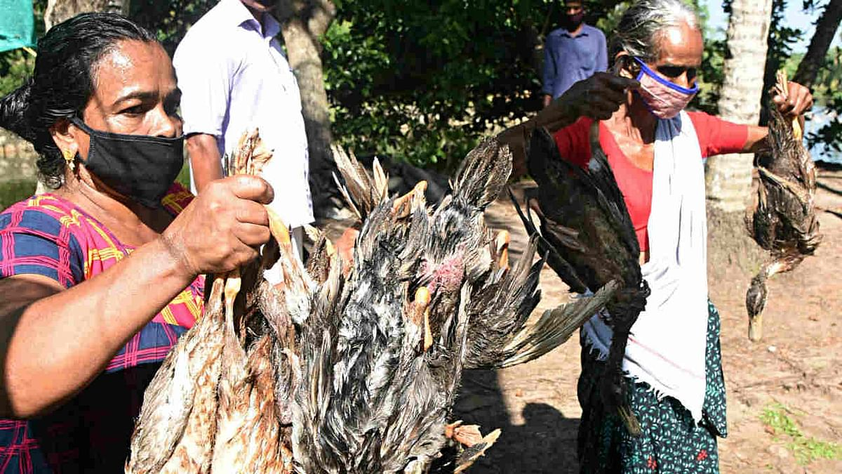 Bird flu: 921 birds including 814 poultry birds die in Maharashtra on Saturday