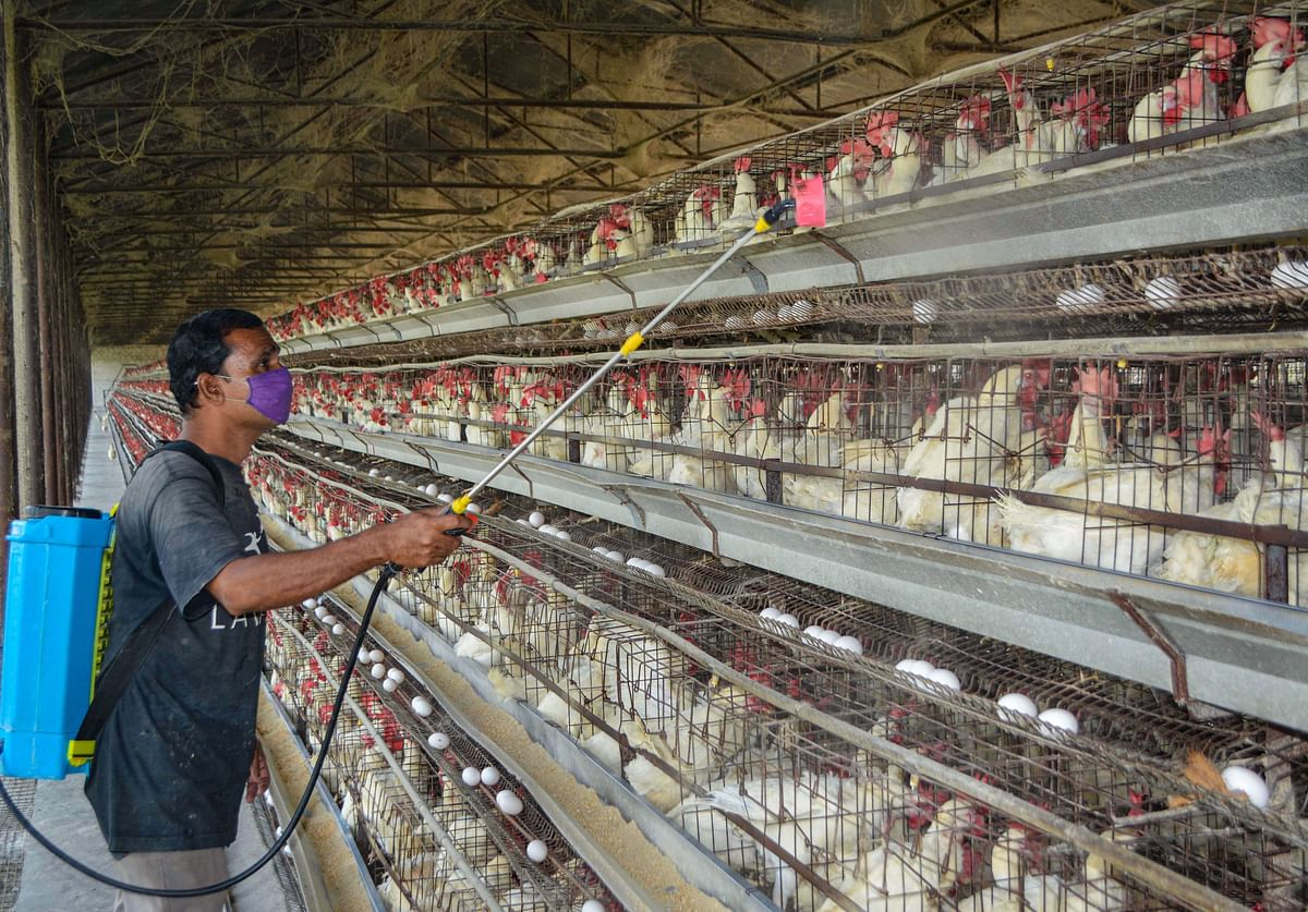 Bird flu: Culling operation on in Madhya Pradesh, Chhattisgarh; confirmed in poultry in 9 districts of Maharashtra