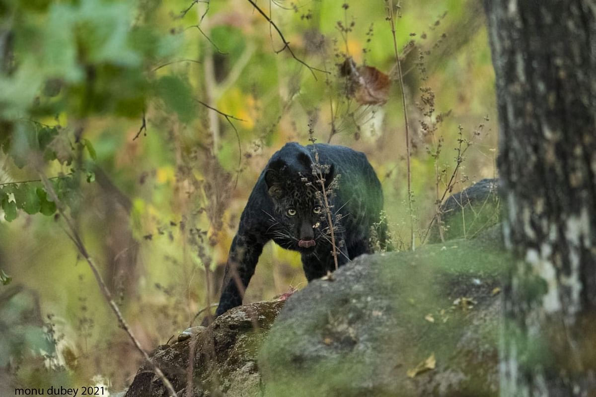 The black leopard that was spotted in Pench National Park.