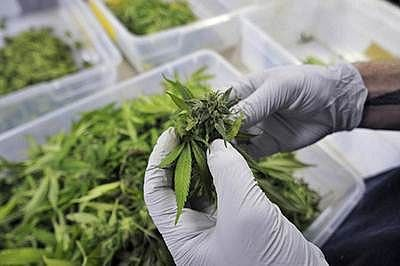 Mumbai: NCB raids three locations in city; busts marijuana production in Dombivali using hydroponics