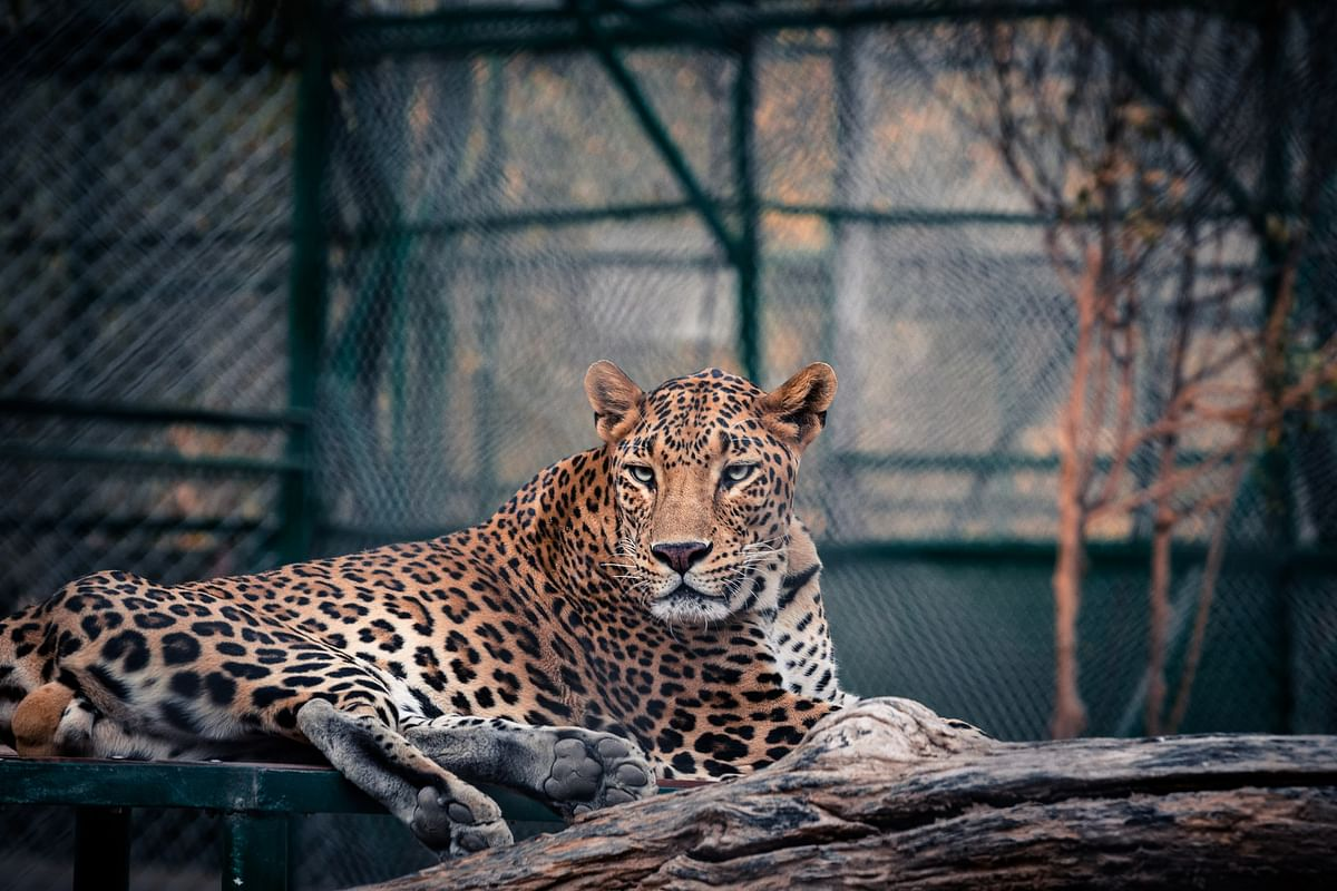 Madhya Pradesh: Leopard found in Nayapur still yearns for justice