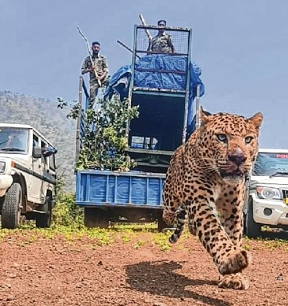 Leopard's leap to liberty leaves everyone awestruck
