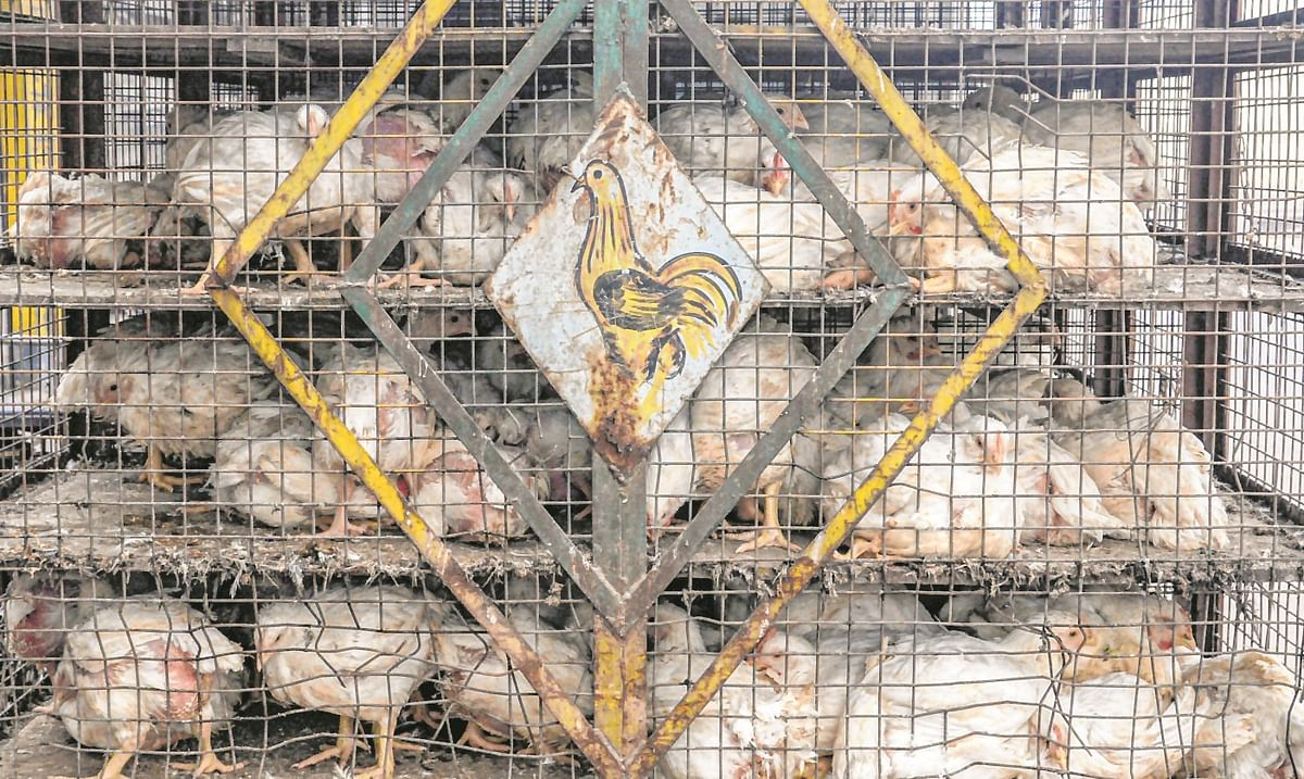 BMC received 844 bird flu complaint calls in the past ten days